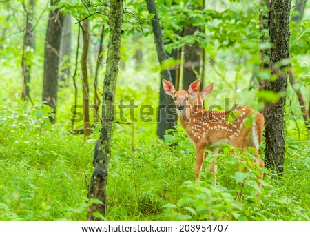 Whitetail Deer Fawn standing in the woods. - stock photo