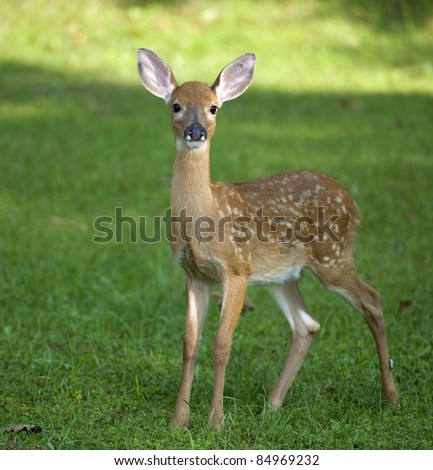 Whitetail deer fawn still in spots on a grassy field - stock photo
