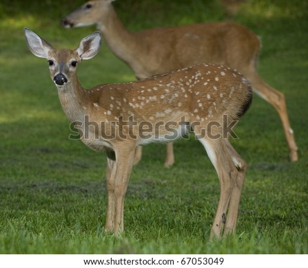 whitetail deer fawn that has a doe standing far behind - stock photo