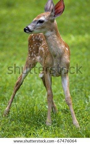 whitetail deer fawn that is in the sun on a green grass - stock photo