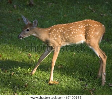 Whitetail deer fawn that is in the sun on the grass - stock photo