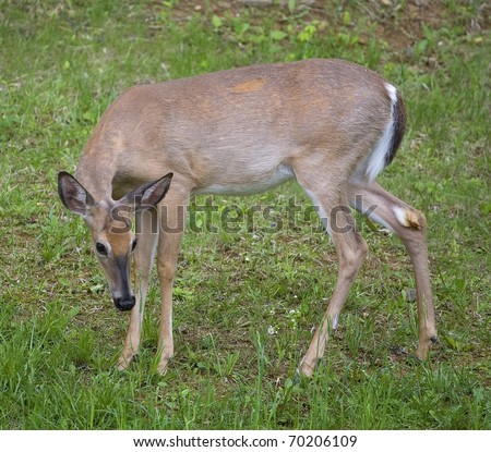 whitetail deer that looks as if it's apologizing - stock photo