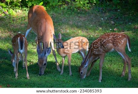 Whitetail doe with three fawns eating some grass - stock photo