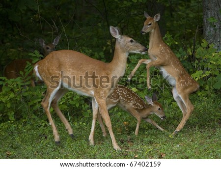 Whitetail does and two fawns that are jumping and running - stock photo