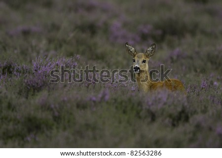Whitetail roe deer standing in heather - stock photo