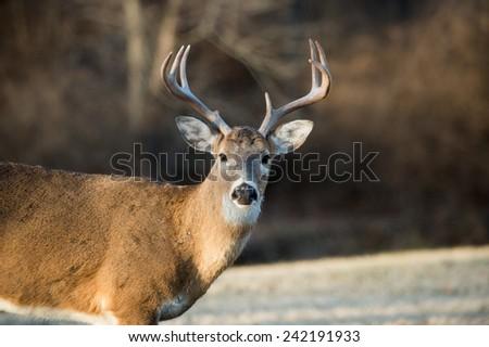Whitetailed deer buck in a meadow in Jefferson Barracks National Cemetery near St. Louis, Missori - stock photo