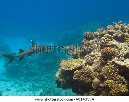 Whitetip Reef Shark (Triaenodon Obesus) Great Barrier Reef Australia - stock photo