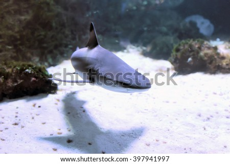 Whitetip reef shark (Triaenodon obesus) in the coral reef - stock photo