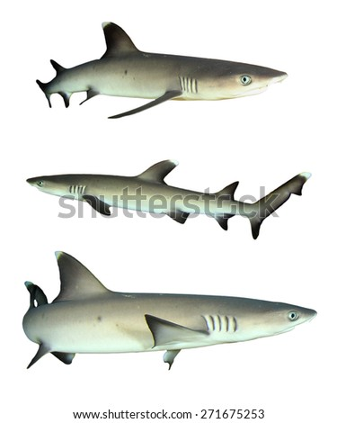 Whitetip Reef Sharks isolated on white background - stock photo