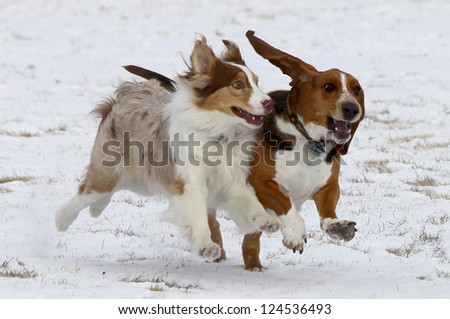 Who says dogs can't smile?  Two dogs, including a Basset Hound, have fun in the winter snow at a Colorado off-leash dog park. - stock photo