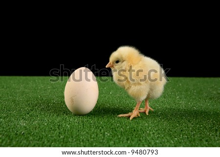 Who was first ? an egg or chicken ? this old question is illustrated here on studio shot. - stock photo
