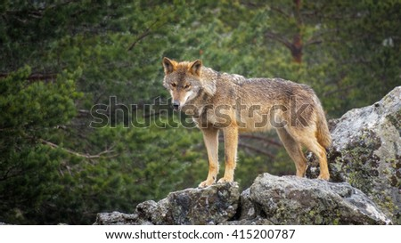 Whole wet Canis Lupus Signatus over rocks looking at the horizon, side view, raining - stock photo