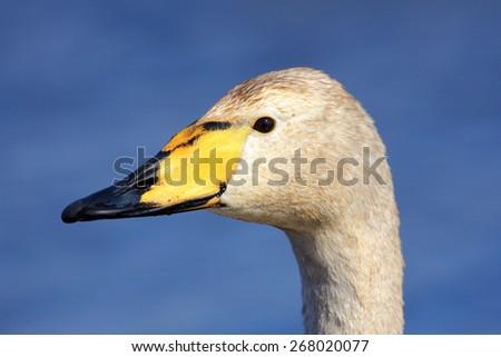 Whooper Swan, Cygnus cygnus, portrait of bird with black and yellow beak, Lake Hornboga, Sweden - stock photo