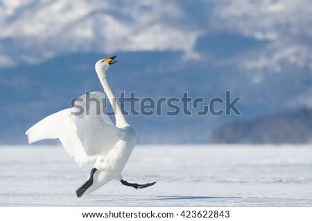 Whooper Swan (Cygnus cygnus) - Ready for Takeoff - stock photo