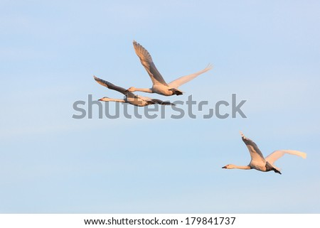 Whooper Swan flying on the sky - stock photo