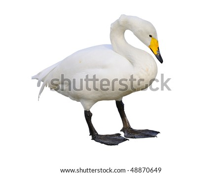Whooper Swan Isolated on White Background with Clipping Path - stock photo