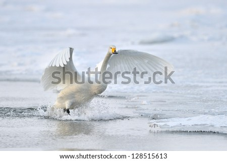 Whooper Swan landing from flight. - stock photo