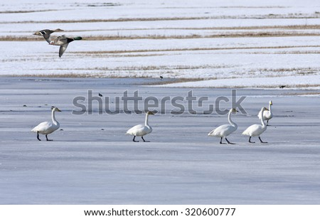 Whooper swan resting on a pond. Mallards in formation, bird migration. Cygnus cygnus and Anas platyrhynchos in seasonal movement between breeding and wintering grounds.  - stock photo