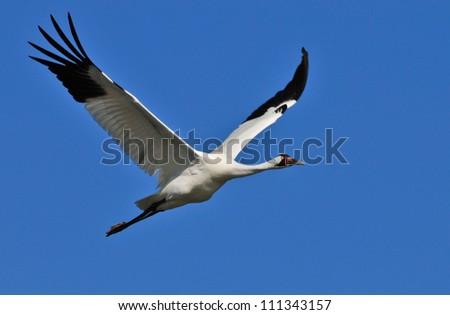 Whooping Crane (Grus americana) - stock photo