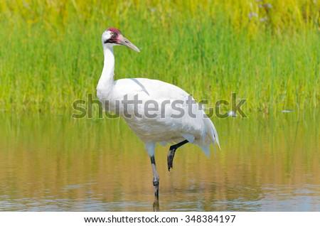 whooping crane or grus americana bird wading with one leg raised in marsh - stock photo
