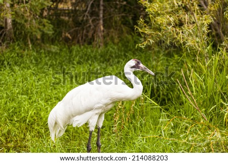 Whooping Cranes - stock photo