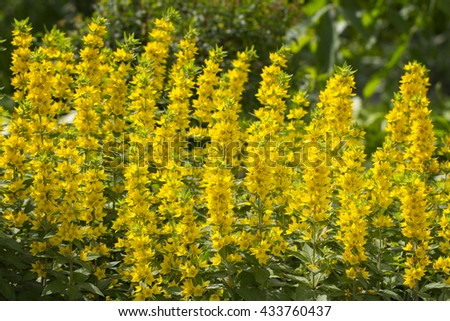 Whorled Loosestrife - Lysimachia verticillaris Escaped garden plant - stock photo