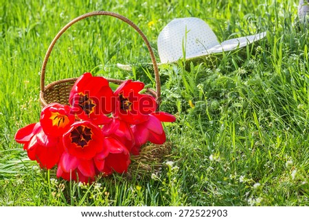Wicker basket with red tulips and white hat on the green grass in the garden on a sunny spring day, backlit - stock photo