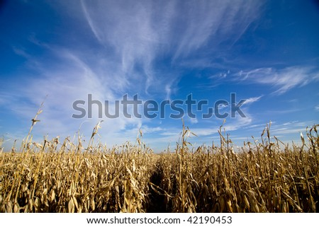 wide angle view of corn field with blue sky - stock photo