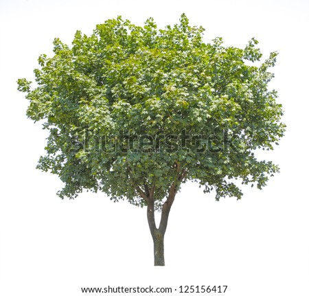wide leaf tree isolated on white - stock photo
