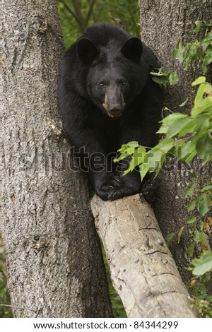 Wide Load.  Large black bear (Ursus Amricanus) squeezes through a narrow gap between two trees to walk across a fallen tree. - stock photo