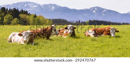 wide panorama landscape in Bavaria, Germany, with cows in meadow - stock photo