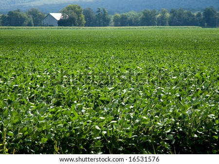 Wide view of soybean field with barn in distant background. - stock photo