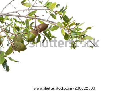 wild acorn bush isolated on white - stock photo