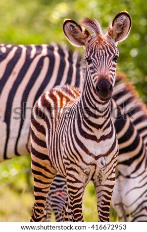 Wild African baby zebra and mother - stock photo