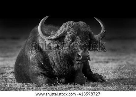 Wild African Buffalo sitting down in black and white - stock photo