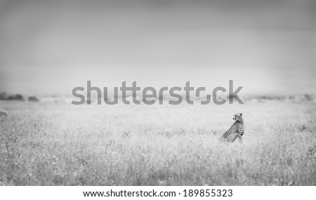 Wild African Cheetah overlooking the flood plaines - stock photo