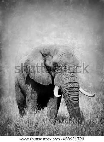 Wild African elephant in black and white - stock photo
