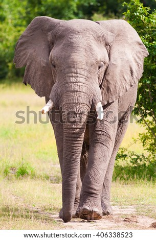 Wild African elephant walking towards the viewer - stock photo