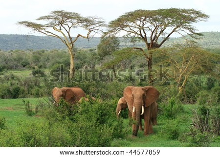 Wild African Elephants - stock photo