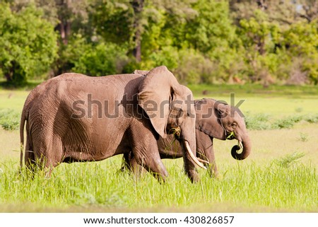 Wild African elephants drinking at a waterhole - stock photo