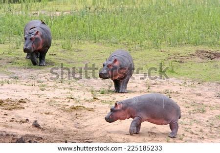 Wild african hippo family - stock photo