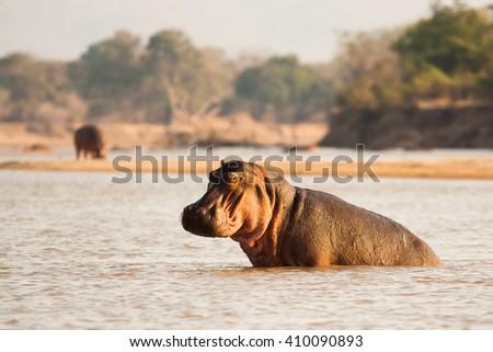 Wild African hippo in a waterhole - stock photo