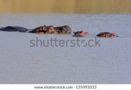 Wild african hippo pod - stock photo