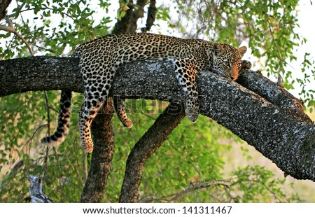 Wild african leopard in tree - stock photo