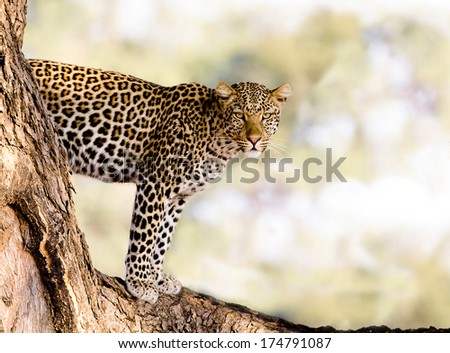 Wild African leopard standing in a tree - stock photo