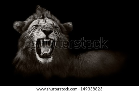Wild African Male Lion Growling and Showing Dangerous Teeth - stock photo