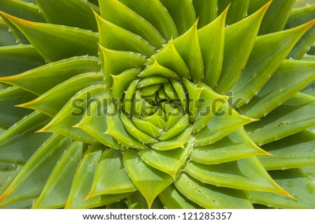 Wild Aloe vera - stock photo