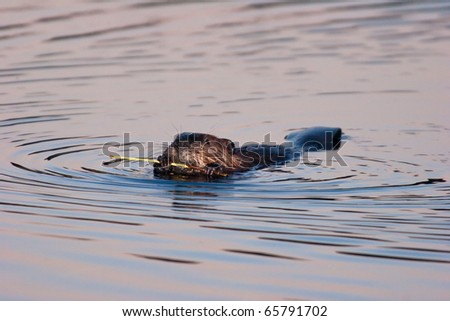 Wild American Beaver Eating Bark Off A Branch In The Twilight.  Beaver was located in Ohio. - stock photo