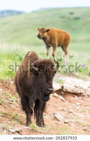 wild american buffalo family in the grasslands of South Dakota - stock photo