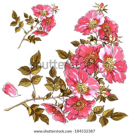 Wild and garden roses on a white background in watercolor - stock photo